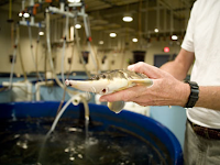 Rearing experiments on juvenile sturgeon (E. Ryder, UMCES)